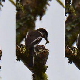 Bar-winged Flycatcher-shrike – nest sanitation