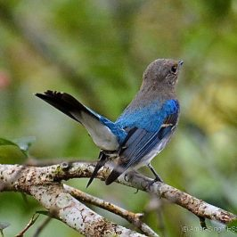 Blue-and-white Flycatcher – 1st winter male