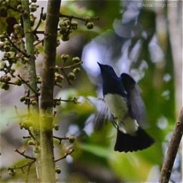 Blue-and-white Flycatcher and <em>Macarange bancana</em> fruits