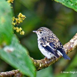 Little Pied Flycatcher – juvenile male