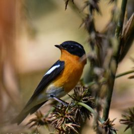 Mugimaki Flycatcher – feeding in seeding bamboo