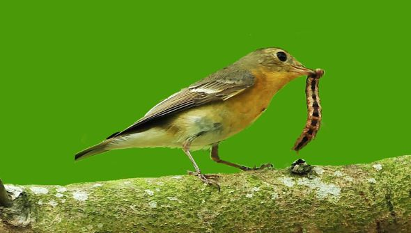 Mugimaki Flycatcher takes a caterpillar