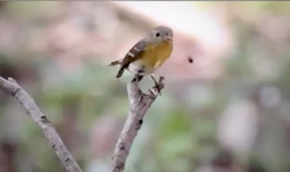 Mugimaki Flycatcher casting two pellets at one sitting