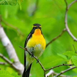 Narcissus Flycatcher <em>Ficedula narcissina narcissina</em>