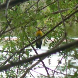 SINGAPORE'S FIRST NARCISSUS FLYCATCHER
