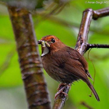 Rufous-browed Flycatcher – nesting