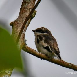 Bar-winged Flycatcher-shrike – food for juveniles