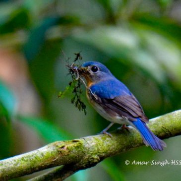 Tickell's Blue Flycatcher – nesting and calls