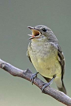 "Yellow-rumped Flycatcher ""vomited"" wasp it swallowed earlier"