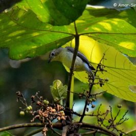Yellow-rumped Flycatcher – fruit feeding