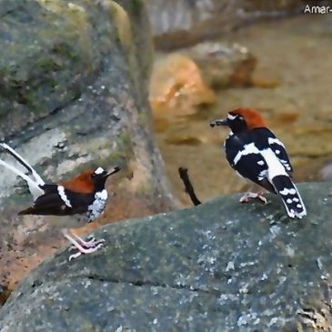 Chestnut-naped Forktail nesting: 1. Introduction