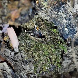 Chestnut-naped Forktail nesting: 3. Chicks and nest