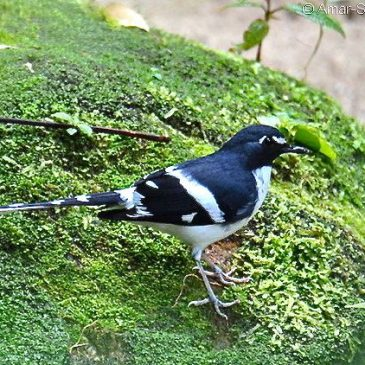 Slaty-backed Forktail with prey