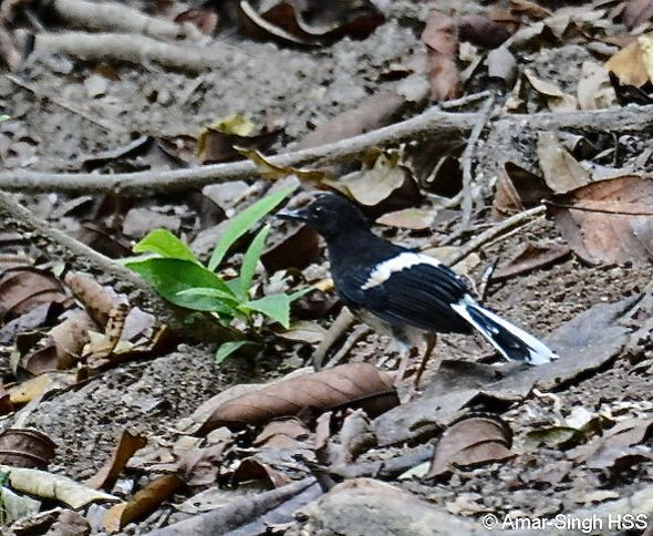 White-crowned Forktail's calls