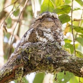 Frogmouths, masters of camouflage