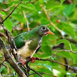 Jambu Fruit-dove and <em>Ficus benjamina</em>