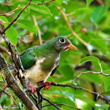 Jambu Fruit-dove and Ficus benjamina