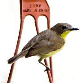 Golden-bellied Gerygone serenading