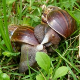 Giant African Snails mating