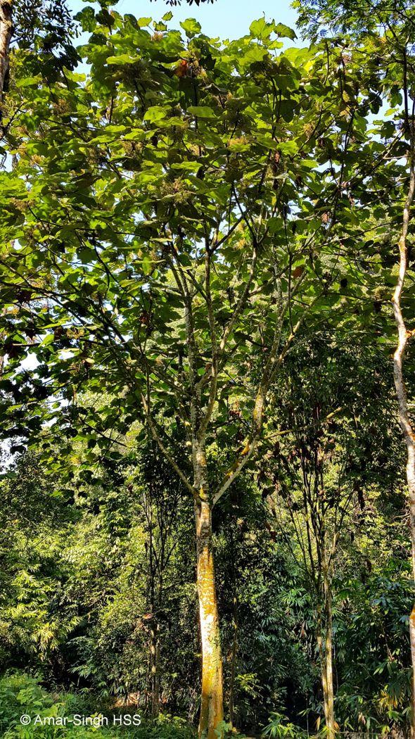 The Giant Mahang (Macaranga gigantea)