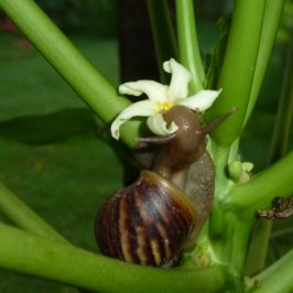 Giant African Snail feeding on papaya flower