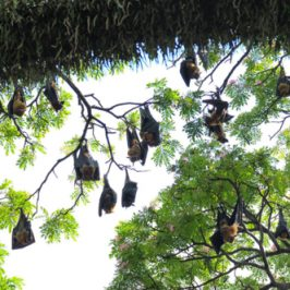 Indian and Malayan Flying Foxes