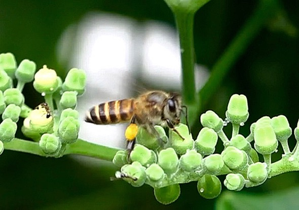 GiantHoneybee (Apis dorsatra)-Cayratia mollissima