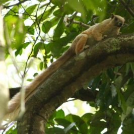 First encounter with Cream-coloured Giant Squirrel at Panti Forest