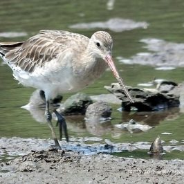 Bar-Tailed Godwit's Reach …