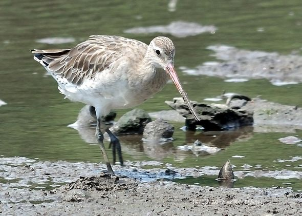 Bar-Tailed Godwit's Reach ...