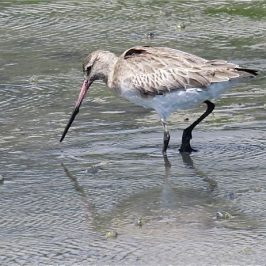 BAR-TAILED GODWIT FEEDING AND PREENING