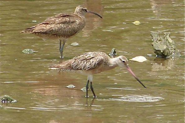 Bar-tailed Godwit @ Sungei Buloh Wetland Reserve