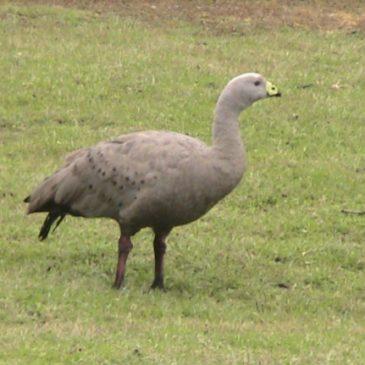 Cape Barren Goose feeding
