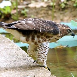 Crested Goshawk at Bishan Park, Singapore