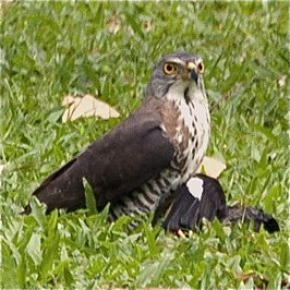 Crested Goshawk caught a myna