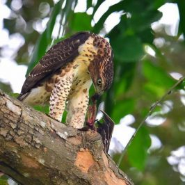 Crested Goshawk's other diet