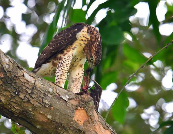 Crested Goshawk - bat (Photo credit: Johnny Wee)