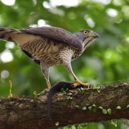 Crested Goshawk feasting on a Common Palm Civet