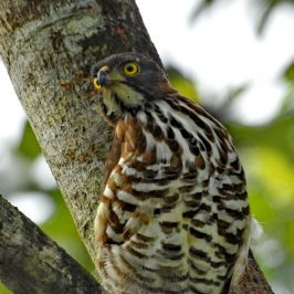 Crested Goshawk – male behaviour