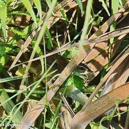 Pallas's Grasshopper-warbler or Rusty-rumped Warbler