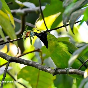 Greater Green Leafbird with prey