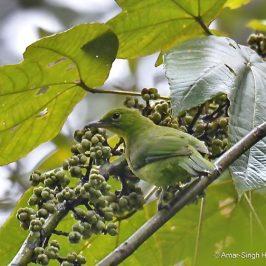 Greater Green Leafbird and Macaranga bancana – another record