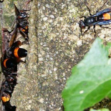Greater Banded Hornet nest