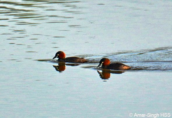 Little Grebe – whinny trill calls, courtship?