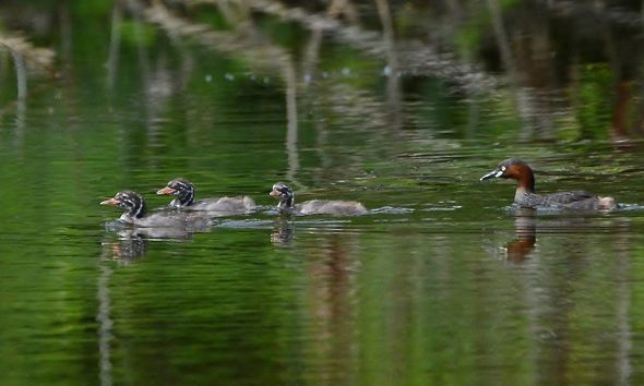 Little Grebes' Chasing Display