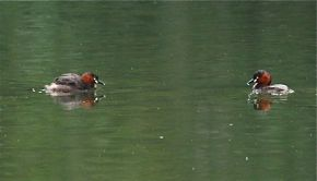 Little Grebe at the Singapore Quarry
