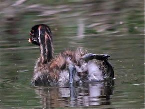 Juvenile Little Grebe's Feet