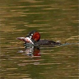 Little Grebe struggling with a large fish