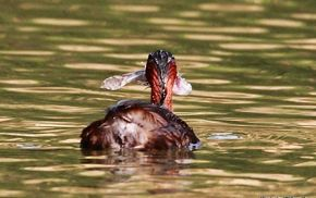 Little Grebe feeding on fish