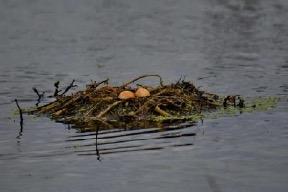 grebel-nest-1-amarsingh